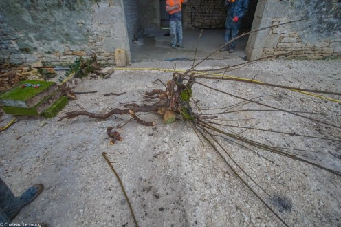 The root of tree growing in the wall.